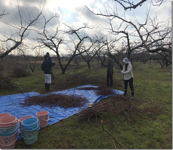 桃の枝集めを行いました