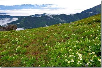 北岳稜線のハクサンイチゲ