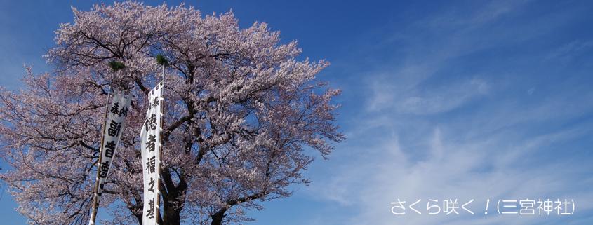 三宮神社の桜