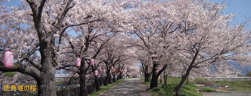 徳島堰の桜並木