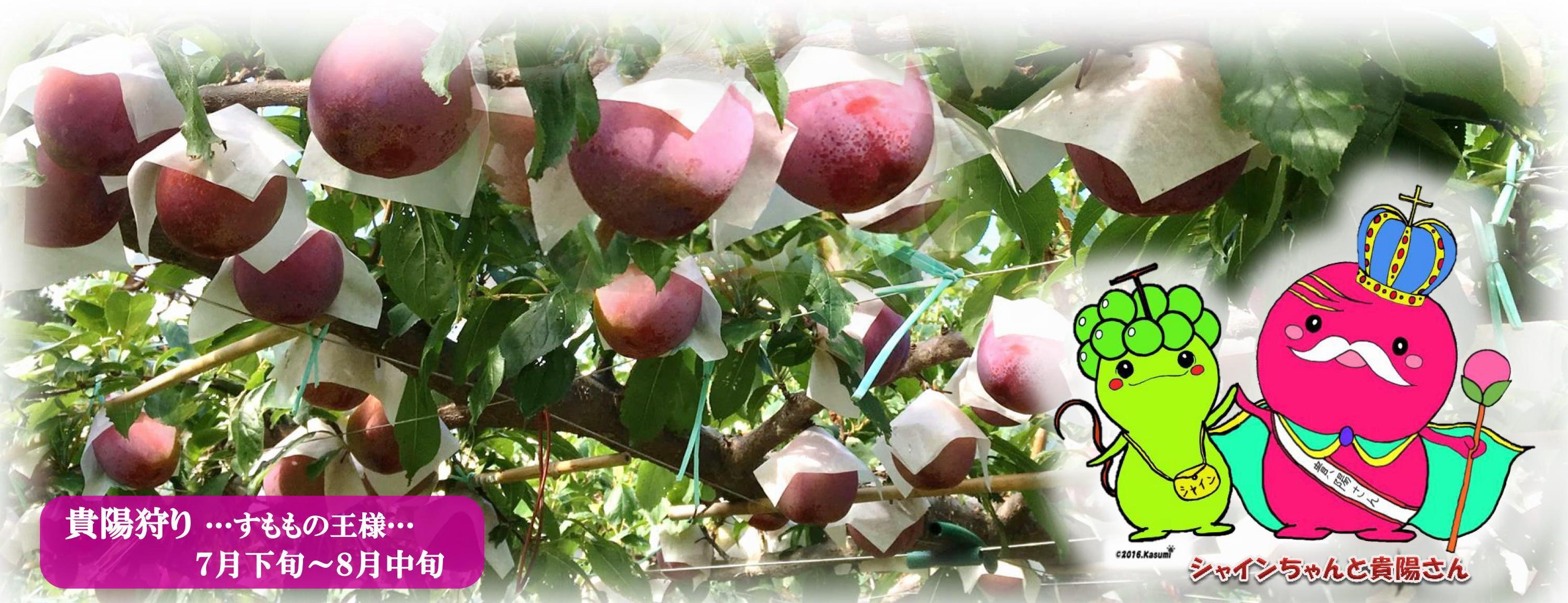 完熟フルーツこだわり探訪桃狩り