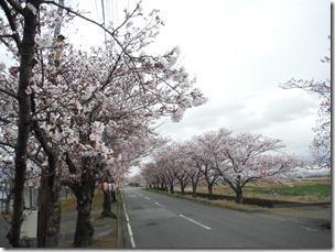 いこいの桜
