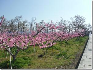 櫛形総合公園西の桃